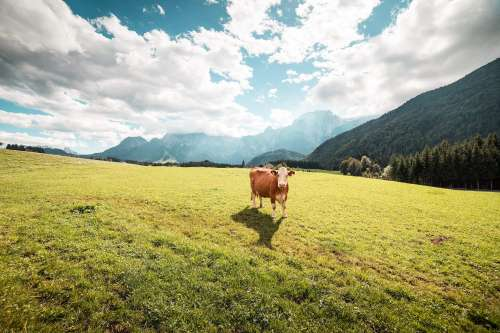 Cow in Large Pasture