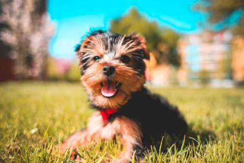 Cute Smiling Yorkshire-Terrier Puppy