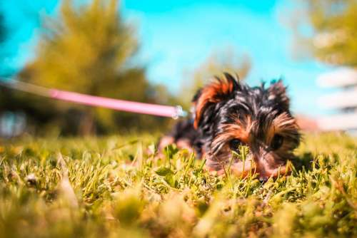 Cute Yorkshire-Terrier Puppy Playing Hide and Seek