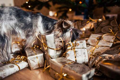 Dog Looking for Her Christmas Gifts