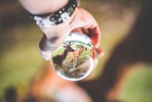 Fallow Deer Seen Through a Glass Ball