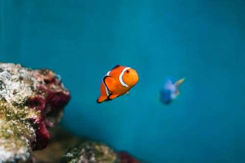 Finding Nemo and Dory as Real Fish: Percula Clownfish & Pacific Blue Tang