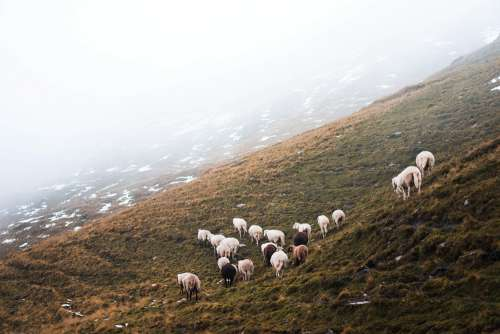 Flock of Sheep in the Mountains