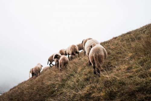 Flock of Sheep on a Steep Hill
