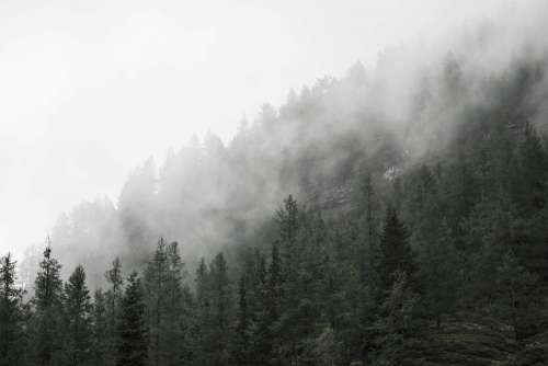 Forest Treetops in Fog
