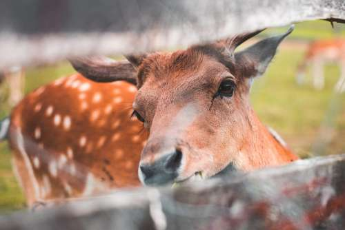 Friendly Deer Looking Through a Fence