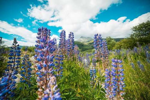 Lupines Mountain Flowers #2