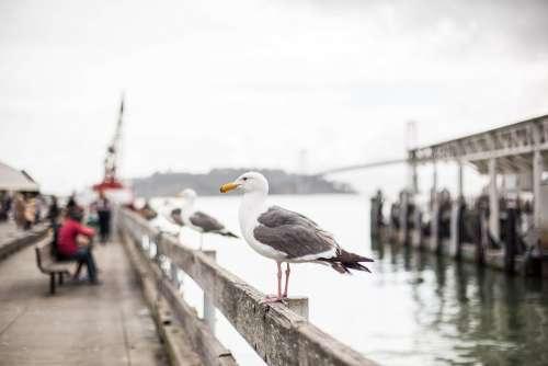 Seagull on San Francisco Pier