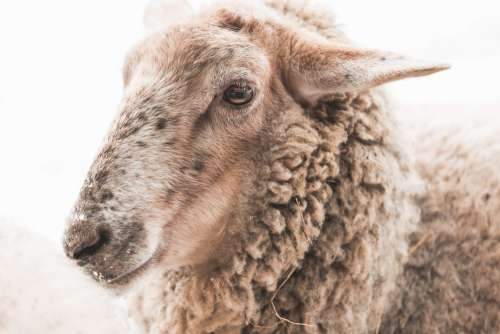 Portrait of Sheep in Winter
