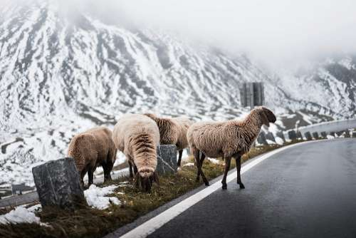 Sheep Crossing Road on Grossglockner Mountain