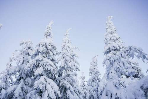 Snowy Trees and Blue Cloudless Sky