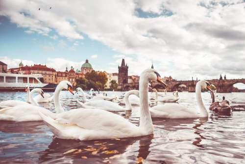 White Swans near Charles Bridge in Prague #2