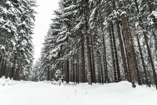 Winter Forest Covered with Snow