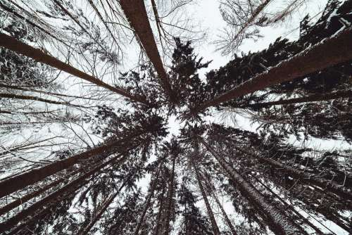 Winter Treetops from Below
