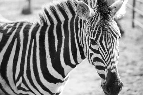 Zebra Black&White Portrait