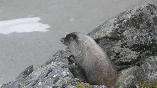 A Marmot Animals Rodent