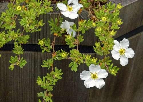 Abbotswood Potentilla Blossom Dwarf Shrub