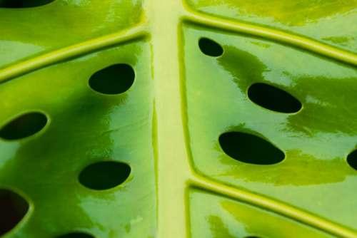 Abstract Botanical Breadfruit Ceriman Close-Up