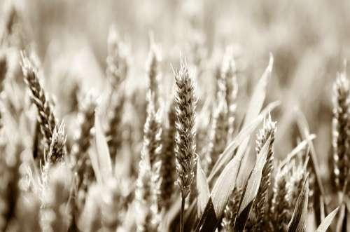 Abundance Agriculture Barley Bread Cereal Eating