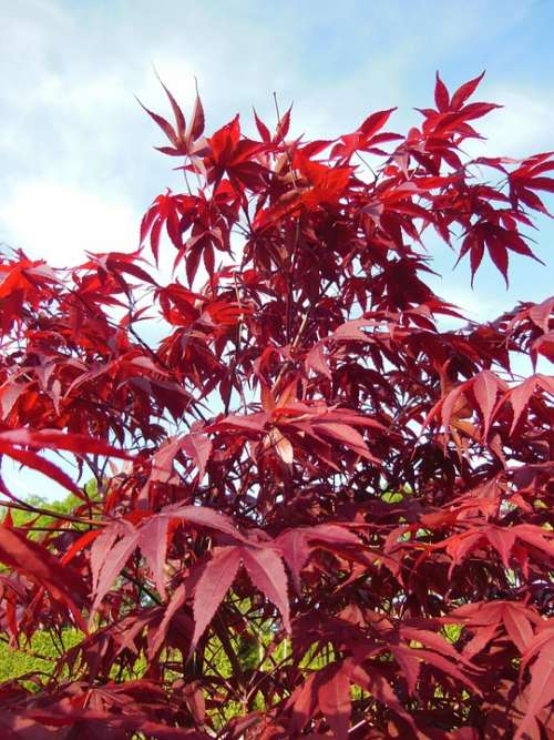 Acer Palmatum Japanese Maples Trees Red Red Leaves