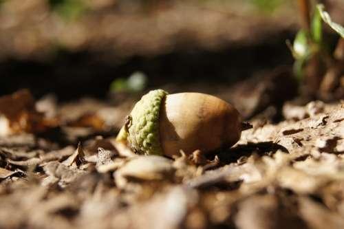 Acorn Fruit Autumn Nature