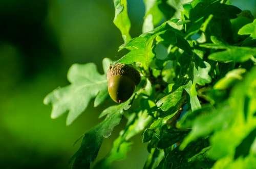 Acorn Autumn Autumnal Background Nature Tree