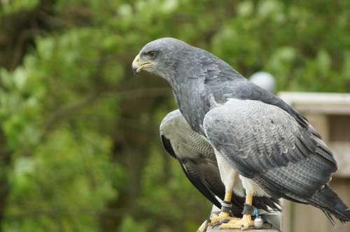 Adler Bird Of Prey Raptor Bird Animal Nature