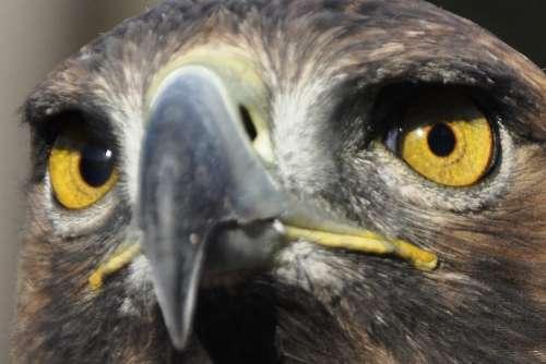 Adler Bird Eyes Bird Of Prey Raptor Golden Eagle