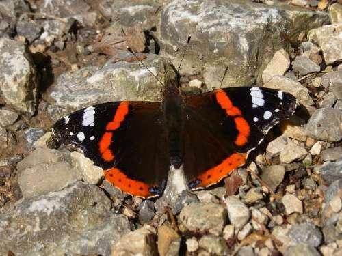 Admiral Vanessa Atalanta Butterfly Insect Animal