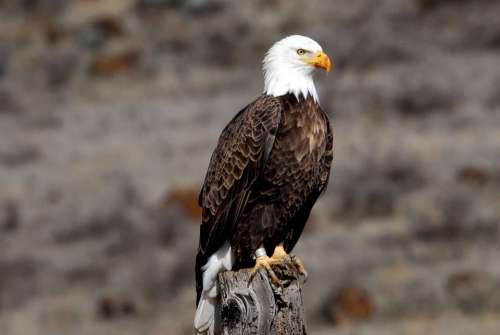 Adult Banded Bald Eagle Birds Animals Fauna