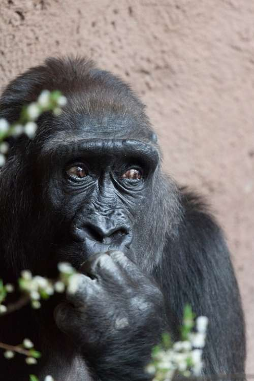 Africa Animal Ape Big Black Endangered Eyes Face