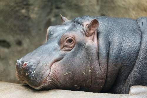 Africa African Animal Aquatic Big Head Hippo