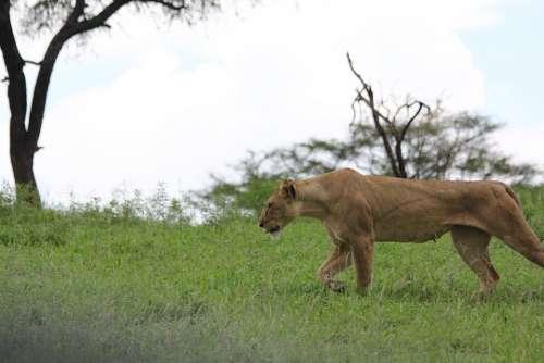 Africa Tanzania Tarangire Lion Lioness Wild Animal
