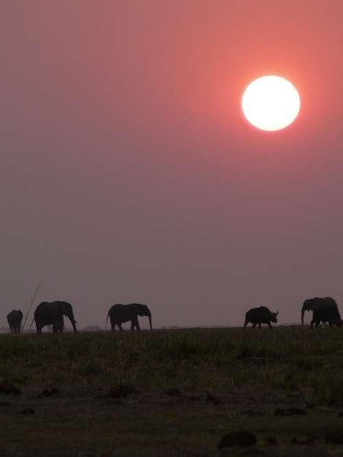 Africa Botswana Elephant Sunset Chobe