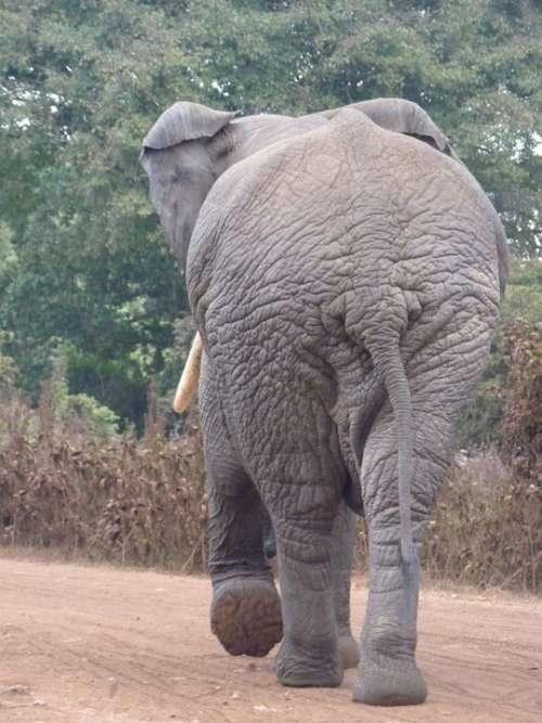 African Bush Elephant Elephant Africa Butt Safari