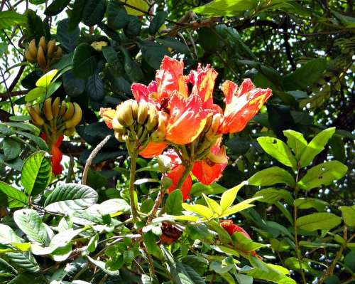 African Tulip Fountain Tree Rudrapalash