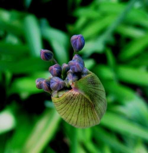 Agapanthus Flower Florets Bud Capsule Blue