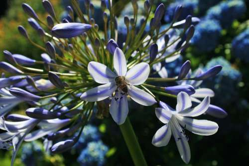 Agapanthus Flower Florets Blue Bee Insect Pollen