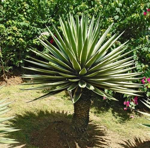 Agave Plant Grün Weiß