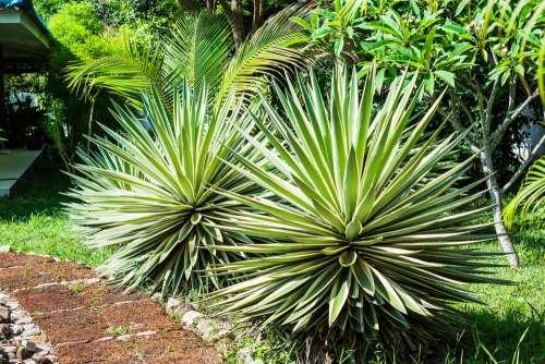 Agave Agavengewächs Plant Prickly
