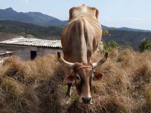 Agriculture Farm Animal Cow Rural Livestock