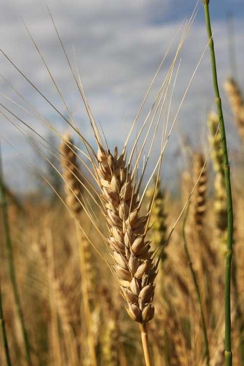 Agriculture Bread Cereals Close-Up Ear Grain