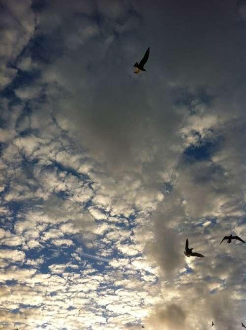 Air Seagull Clouds Birds