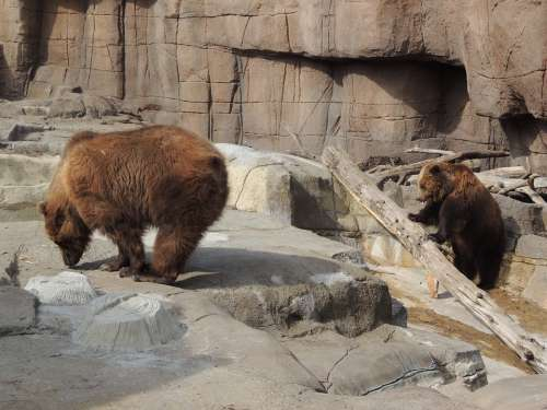 Alaskan Brown Bear Brown Bear Bear Zoo Animal
