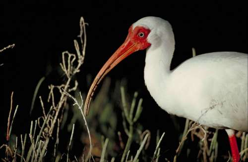 Alba Eudocimus Bird White Body Part Front Head
