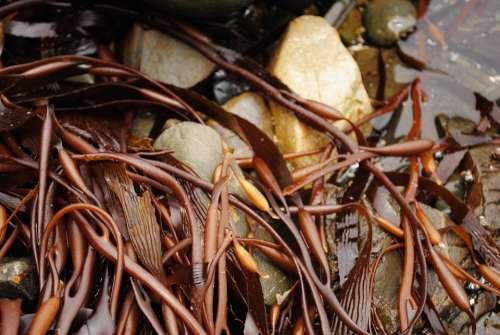 Alga Algae Sea Weed Sea Cochayuyo Plant