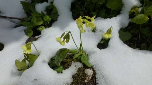 Allgäu Snow In May Cowslip