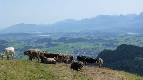 Allgäu Sun Cows Alpe Lake Forggensee Lake