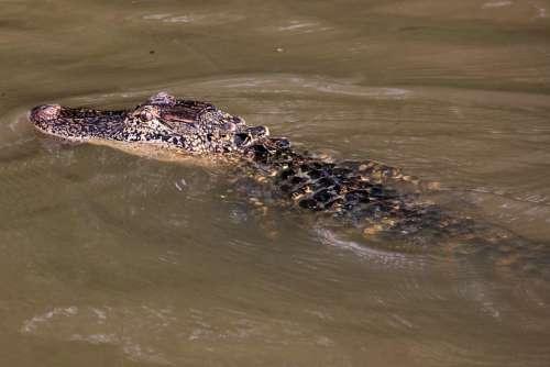Alligator Swamp Bayou Animal Crocodile Louisiana