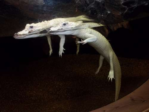 Alligator Aquarium Albino Carnivore Wildlife